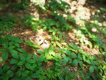 Parthenocissus laetevirens Royalty Free Stock Photography