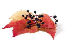 Parthenocissus Stock Photography