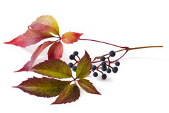 Parthenocissus Stock Images