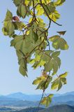 Parthenocissus leaves on blue sky with distant view of mountains. Stock Photography