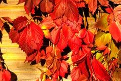 Parthenocissus Planta de jardín Imagenes de archivo