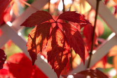 Parthenocissus quinquefolia Stock Images