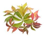 Parthenocissus quinquefolia Royalty Free Stock Image