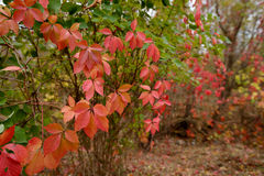 Parthenocissus Quinquefolia Photos stock