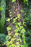 Parthenocissus Quinquefolia 库存图片