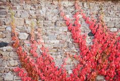Parthenocissus quinquefolia in autumn climbing on stone wall. Branches of parthenocissus quinquefolia in autumn climbing on stone wall Royalty Free Stock Photos