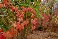Parthenocissus quinquefolia Stock Photos