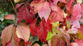 Parthenocissus commonly known as the Boston ivy with red and green leaves Stock Photos