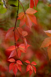 Parthenocissus quinquefolia leafs Royalty Free Stock Photography