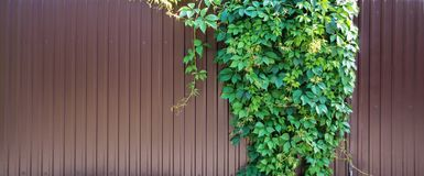Parthenocissus quinquefolia on a metal fence. Lush green foliage of Parthenocissus quinquefolia plant is on a solid dark red metal wall, with space for text Stock Image