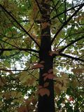 A Parthenocissus Quinquefolia Plant Hanging on a Tree in the Fall. Stock Photo