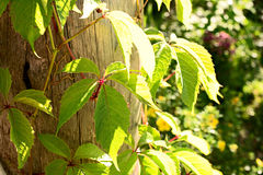 Parthenocissus quinquefolia on a tree. Natural green background with bright sunlight, Parthenocissus quinquefolia on a tree Royalty Free Stock Photo