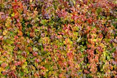 Parthenocissus Quinquefolia or Virginia Creeper Changing Color in Autumn Stock Photo