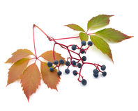 Parthenocissus quinquefolia on the white background Stock Images