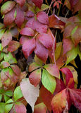 Parthenocissus in rain Royalty Free Stock Image