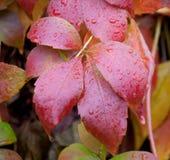 Parthenocissus in rain Stock Photo