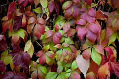 Parthenocissus in rain Royalty Free Stock Photo