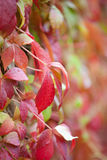 Parthenocissus in rain Royalty Free Stock Images