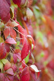Parthenocissus in rain Stock Photography