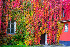Parthenocissus with red and yellow autumn leaves Royalty Free Stock Images