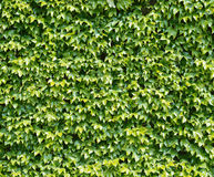 Parthenocissus tendril climbing decorative plant Royalty Free Stock Image