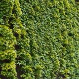 Parthenocissus tendril climbing decorative plant Stock Image