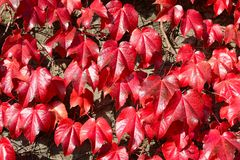 Parthenocissus tricuspidata Stock Photos