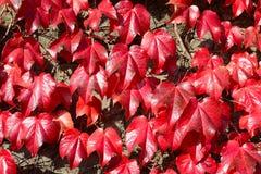 Parthenocissus tricuspidata. Red leaves of the wild vine Stock Photos