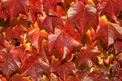 Parthenocissus tricuspidata Royalty Free Stock Images