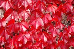 Parthenocissus tricuspidata Royalty Free Stock Photos