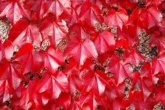 Parthenocissus tricuspidata. Virginia creeper Parthenocissus tricuspidata Veitchii Royalty Free Stock Photos