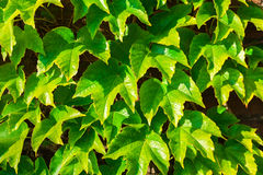 Parthenocissus tricuspidata against the background of a brick wall. Stock Image