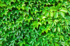 Parthenocissus tricuspidata against the background of a brick wall. Stock Images