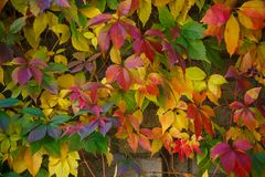 Parthenocissus tricuspidata on a ancient brick wall. Autumn colored leaves. Parthenocissus tricuspidata on a ancient brick wall. Colorful background made of Royalty Free Stock Photos