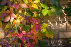 Parthenocissus tricuspidata on a ancient brick wall. Autumn colored leaves. Parthenocissus tricuspidata on a ancient brick wall Stock Photos
