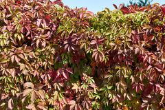 Parthenocissus tricuspidata, Boston Ivy covering. Garden wall Stock Photo