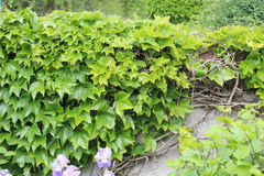 Parthenocissus tricuspidata (Boston Ivy) Royalty Free Stock Image