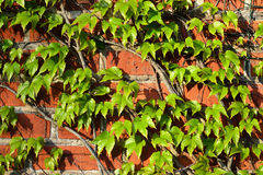 Parthenocissus tricuspidata on a brick wall Royalty Free Stock Photos