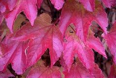 Parthenocissus tricuspidata, foliage. Close-up look at foliage of Parthenocissus tricuspidata Stock Photography