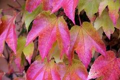 Parthenocissus tricuspidata, foliage. Close-up look at foliage of Parthenocissus tricuspidata Royalty Free Stock Image