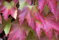 Parthenocissus tricuspidata, foliage. Close-up look at foliage of Parthenocissus tricuspidata Royalty Free Stock Photos