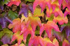 Parthenocissus tricuspidata, foliage. Close-up look at foliage of Parthenocissus tricuspidata Stock Image