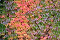 Parthenocissus tricuspidata, foliage. Wall covered with Parthenocissus tricuspidata Stock Photo