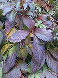 Parthenocissus tricuspidata jesień naturalne piękno Obraz Stock