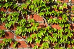 Parthenocissus tricuspidata na ściana z cegieł Zdjęcia Royalty Free