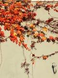 Parthenocissus tricuspidata Parthenocissus tricuspidata Stock Photos