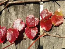 Parthenocissus Tricuspidata Plant on a Wooden Fence in the Sun in the Fall. Stock Photography
