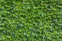 Parthenocissus tricuspidata plants. As background Stock Image