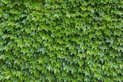 Parthenocissus tricuspidata plants Stock Image