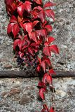 Parthenocissus tricuspidata in red Stock Photos